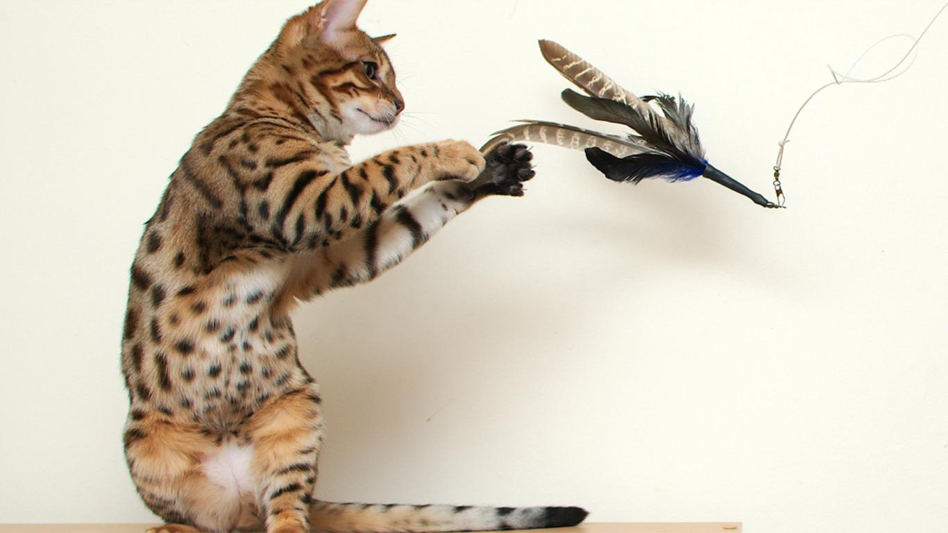 Cara Merawat Kucing Blacan