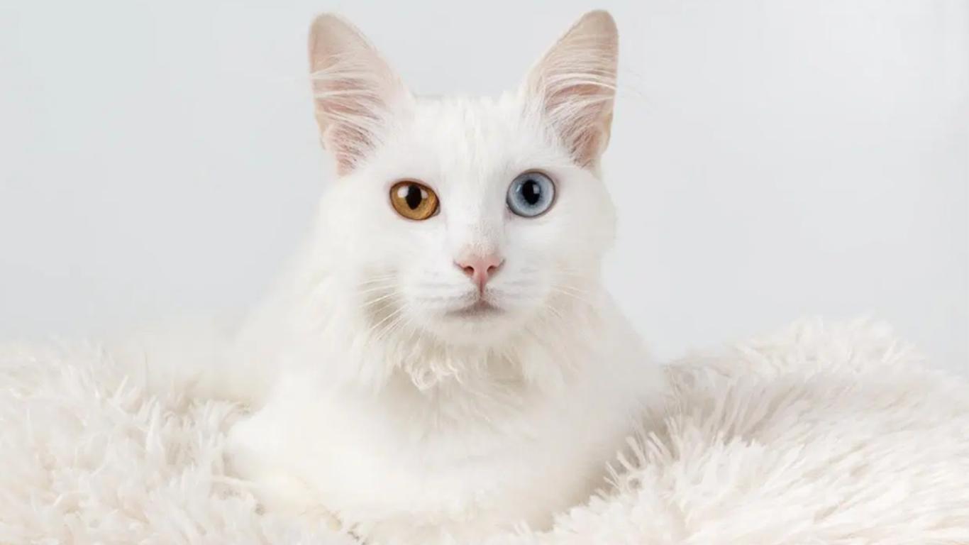 Ciri Ciri Kucing Anggora Mata