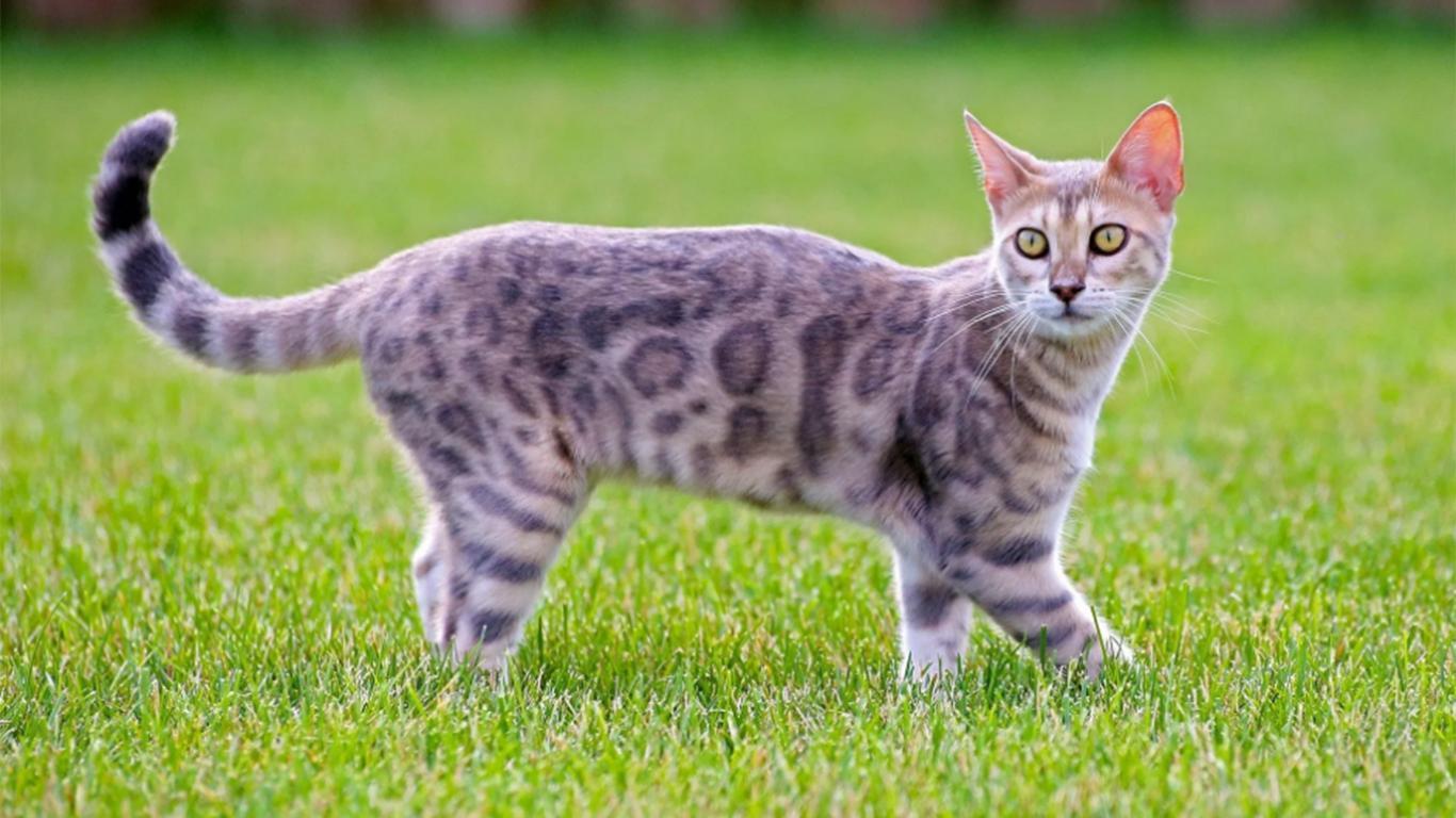 Ciri-ciri Kucing Bengal Asli