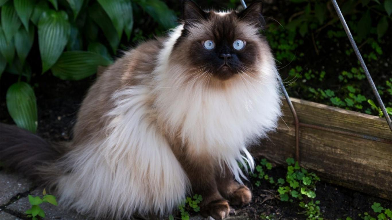 Kucing Himalaya