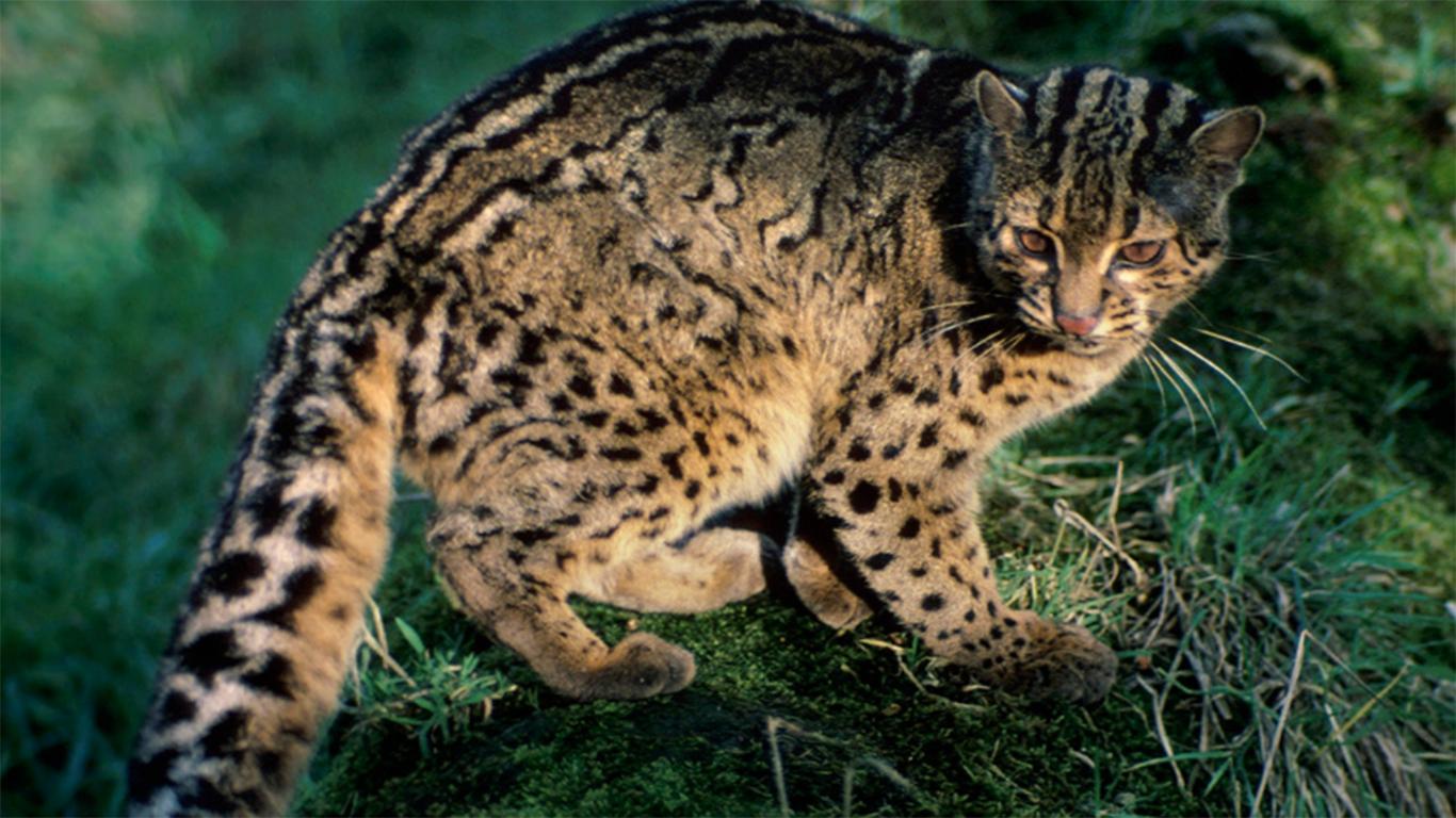 Kucing Hutan (Felis Bengalensis)