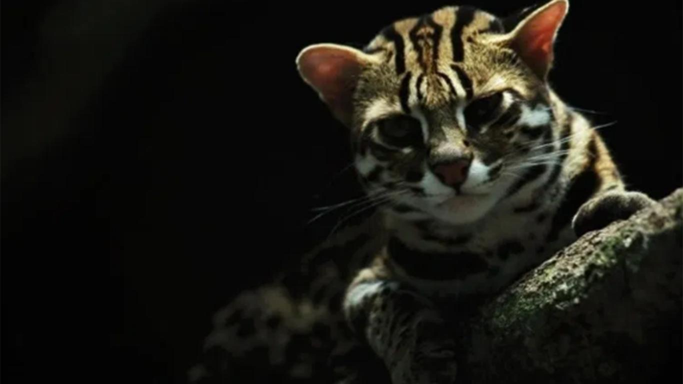 Kucing Hutan Jawa