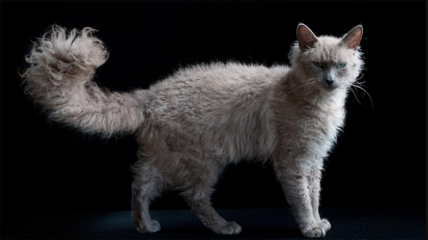 Kucing Laperm