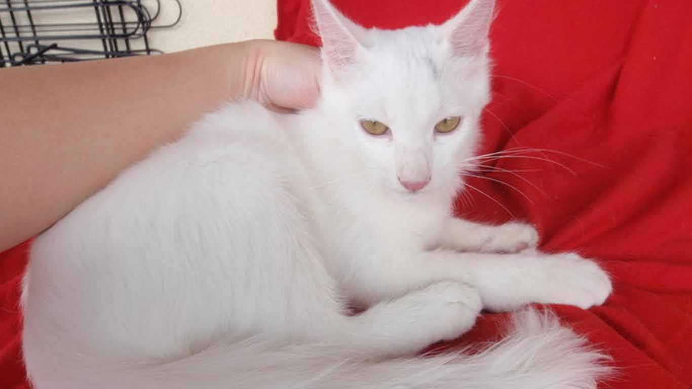 Kucing Persia Campuran Kucing Kampung