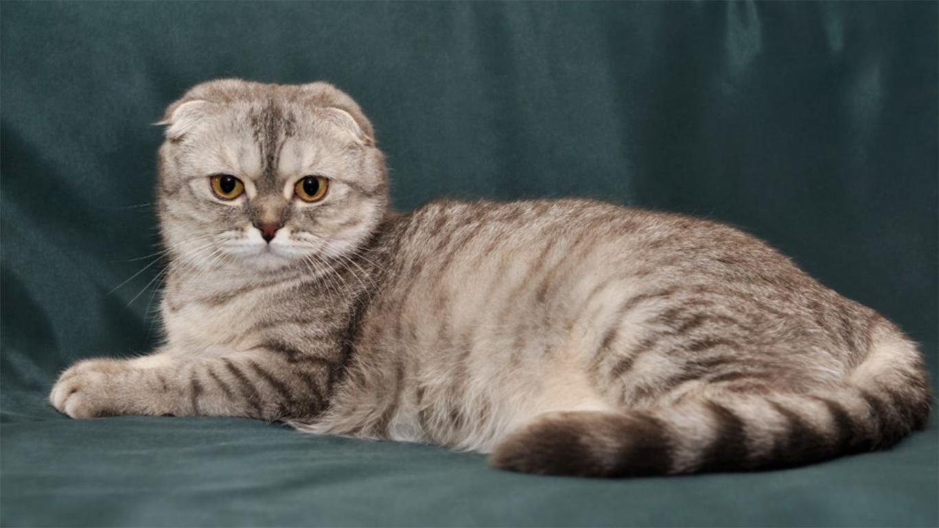 Kucing Telinga Lipat Skotlandia