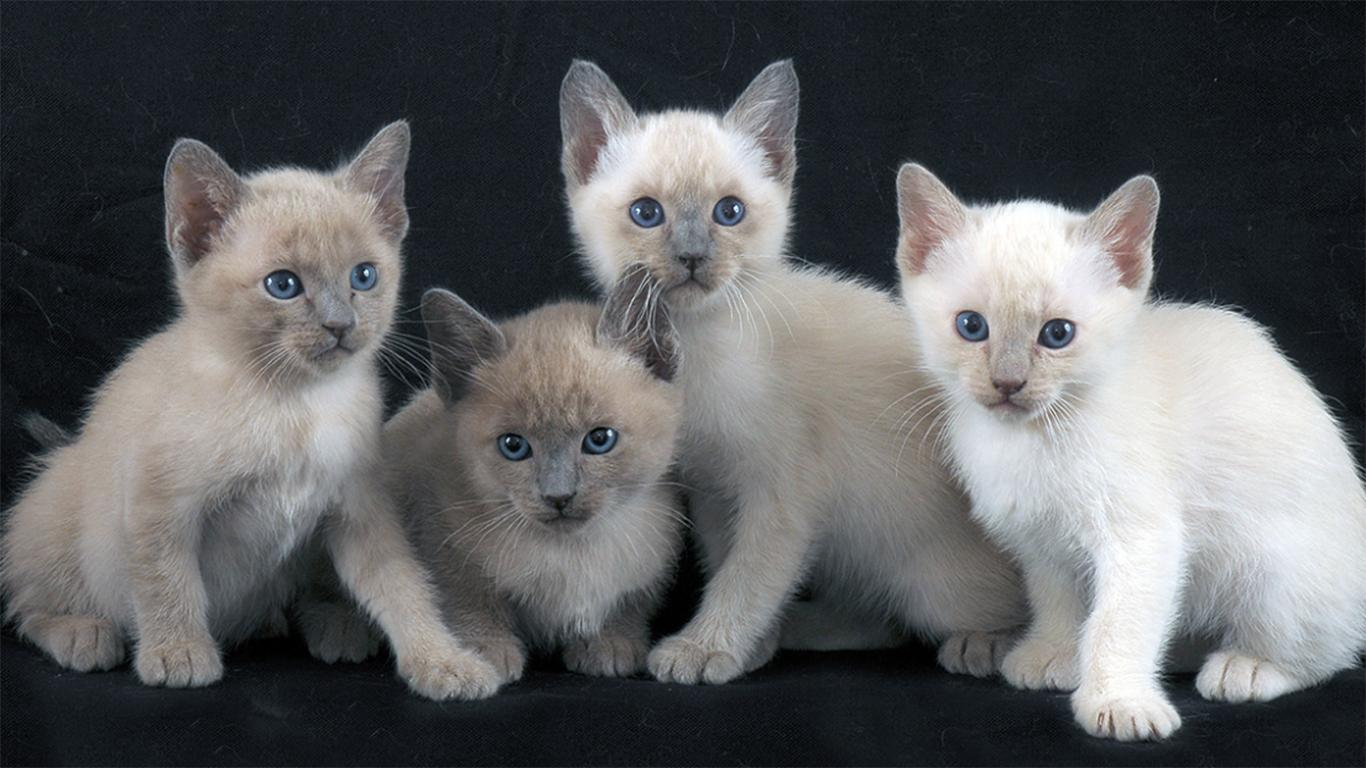 Tongkinese Cat