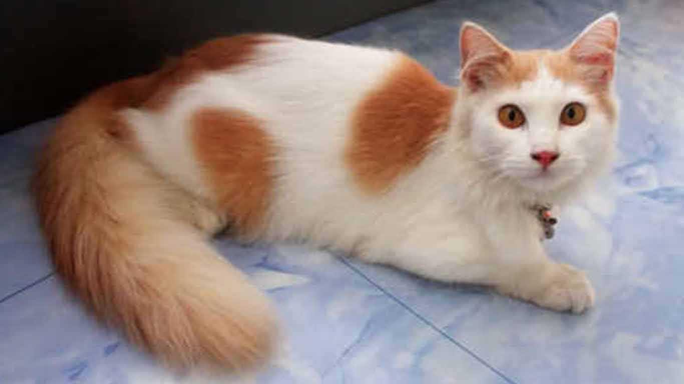 domestic kittens and anggora