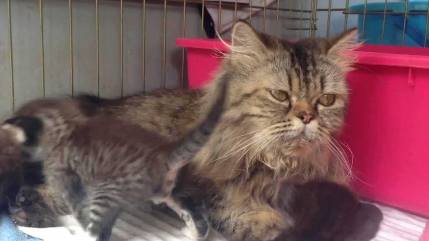 anak kucing kampung dan persia