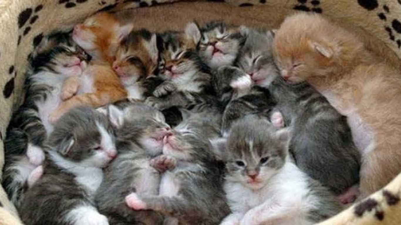 anak kucing kampung