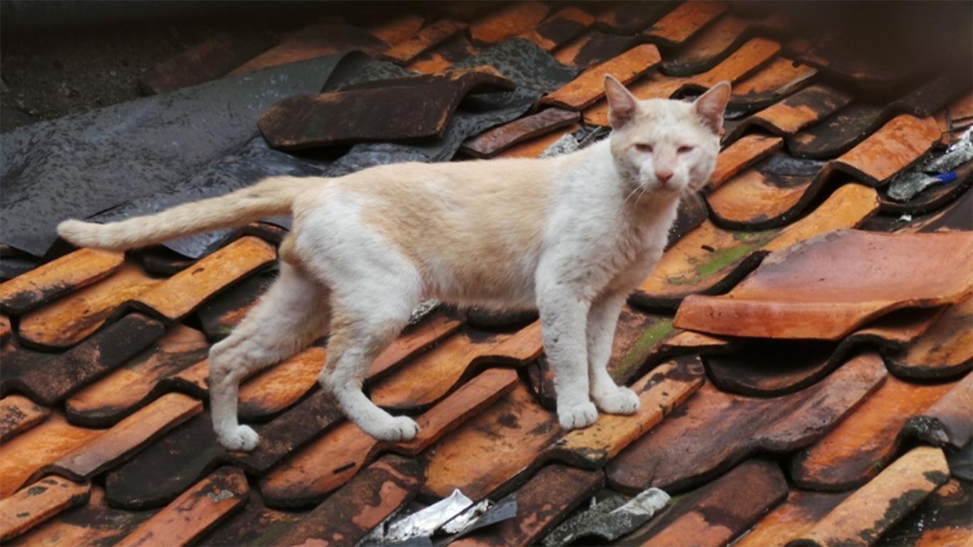 cara mengusir kucing di plafon rumah