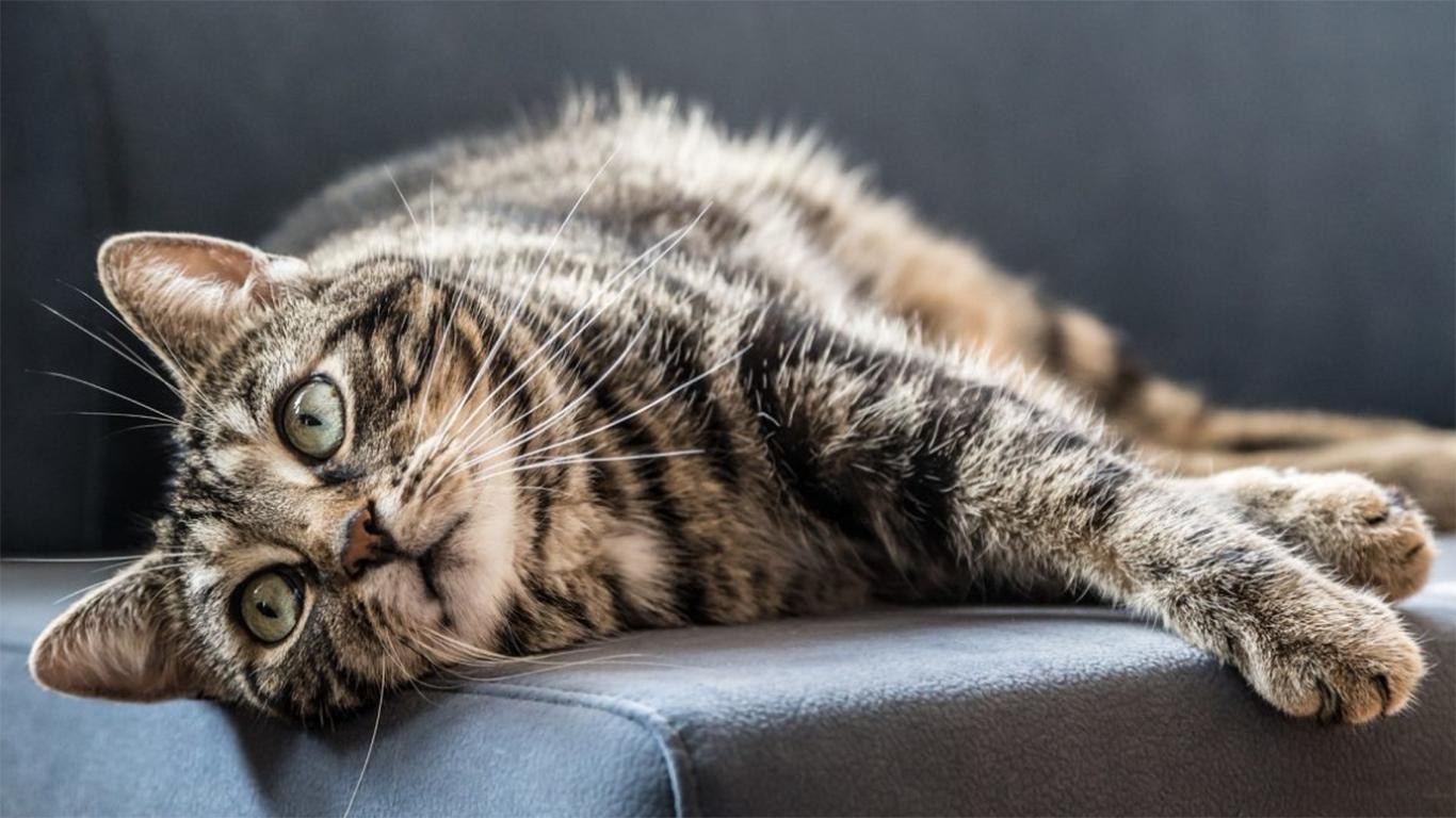 ciri ciri kucing cacingan