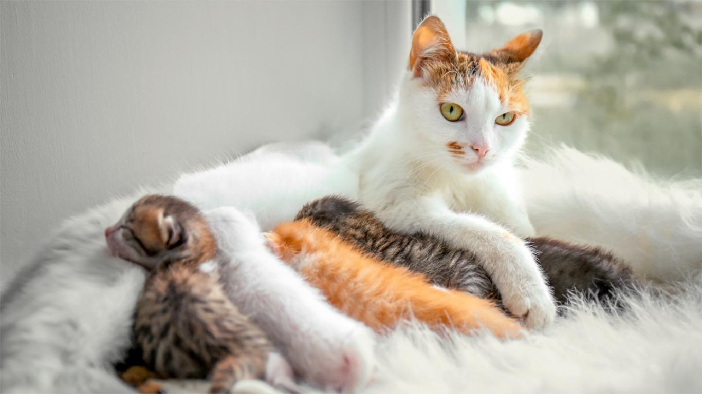ciri ciri kucing hamil dan akan melahirkan