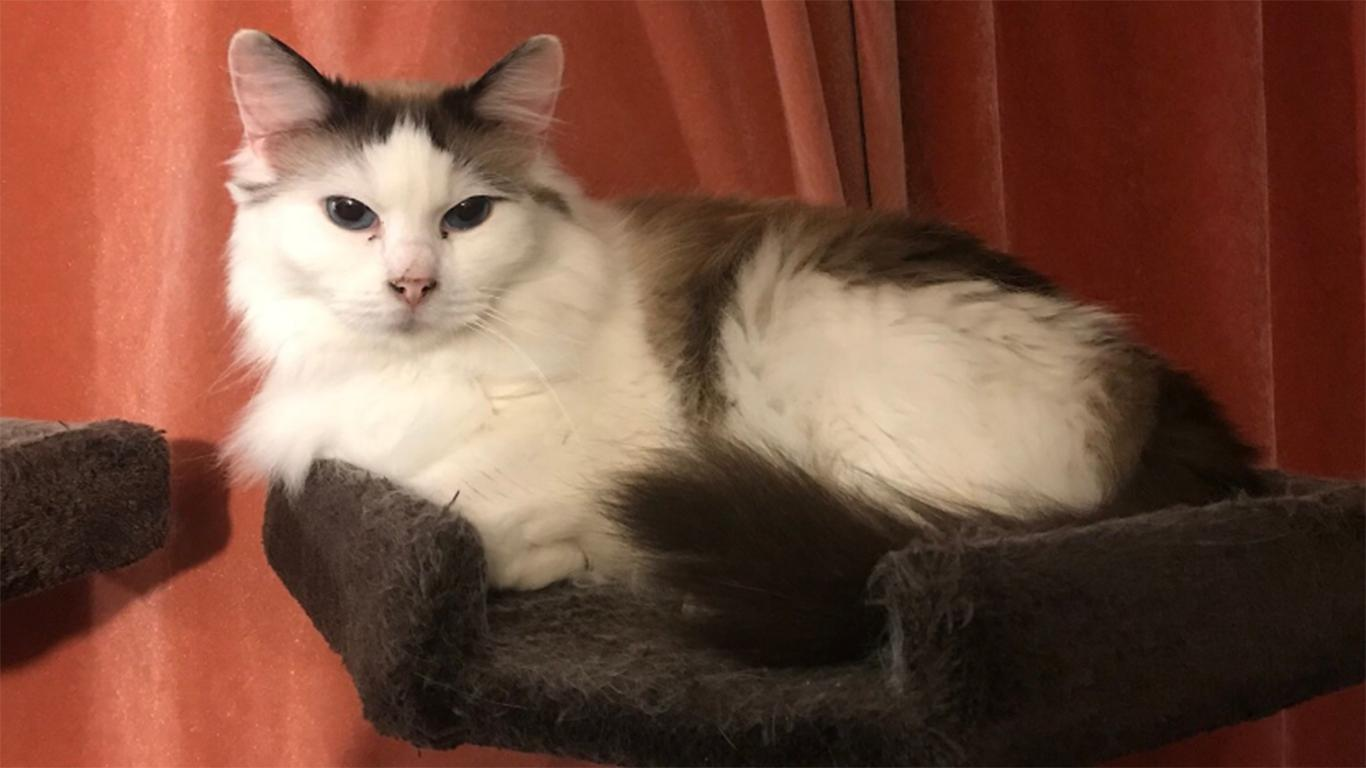 ciri ciri kucing ragdoll