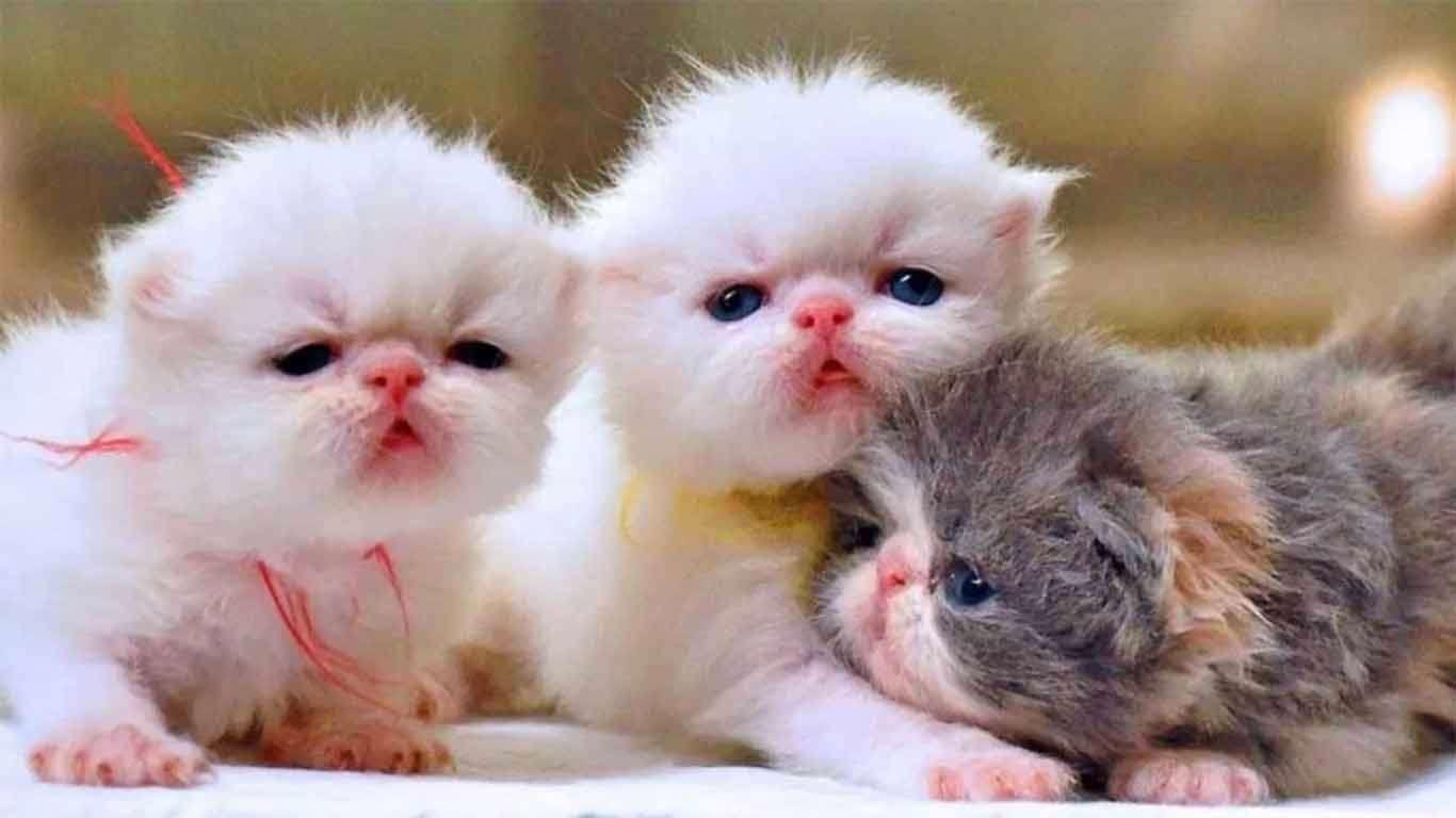 harga anak kucing