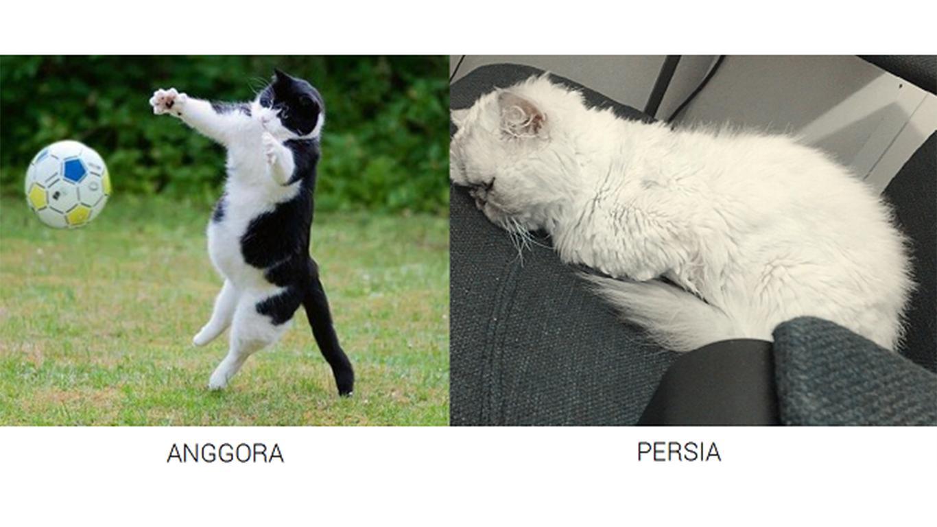 Angora and Persian cat prices