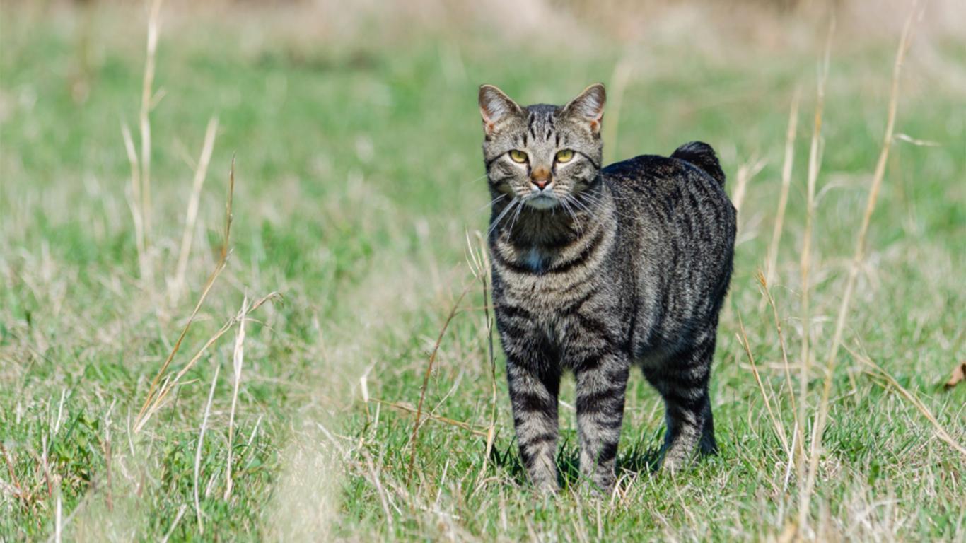 jenis jenis kucing dan harganya manx