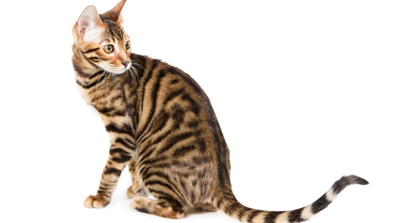 jenis jenis kucing toyger