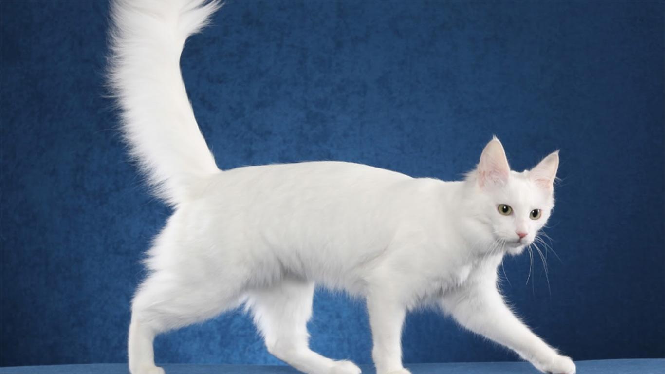 jenis kucing anggora turki