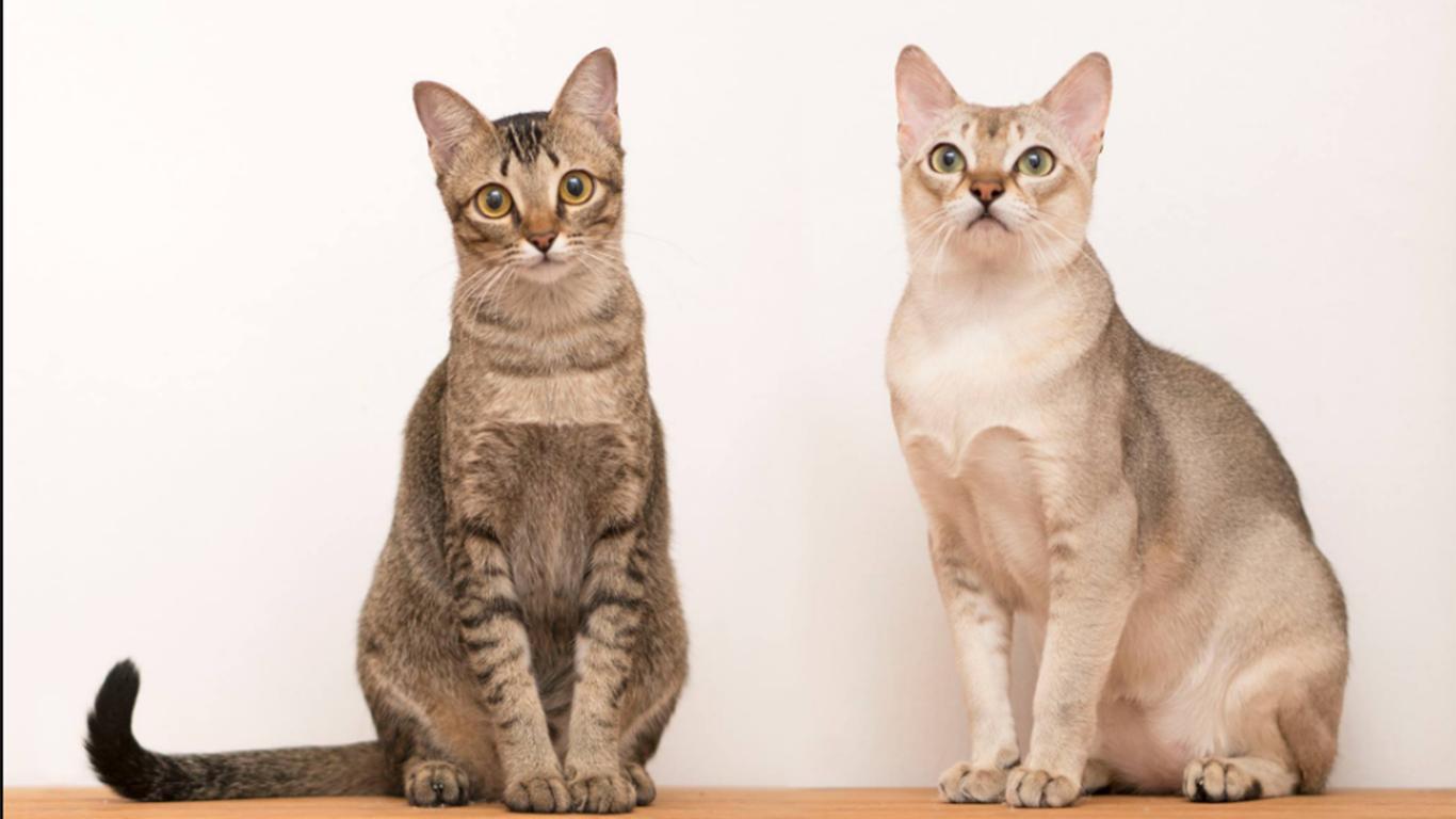 jenis kucing hias singapura