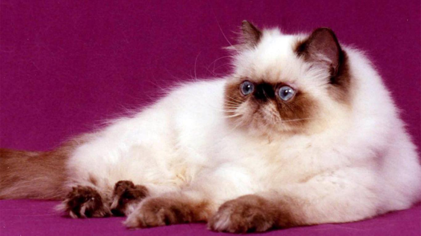 jenis kucing himalaya