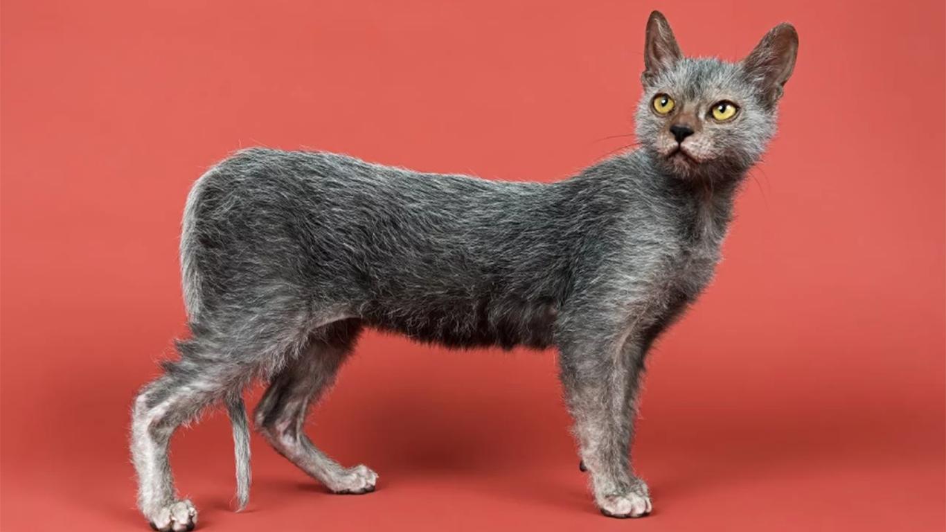 jenis kucing lucu lykoi