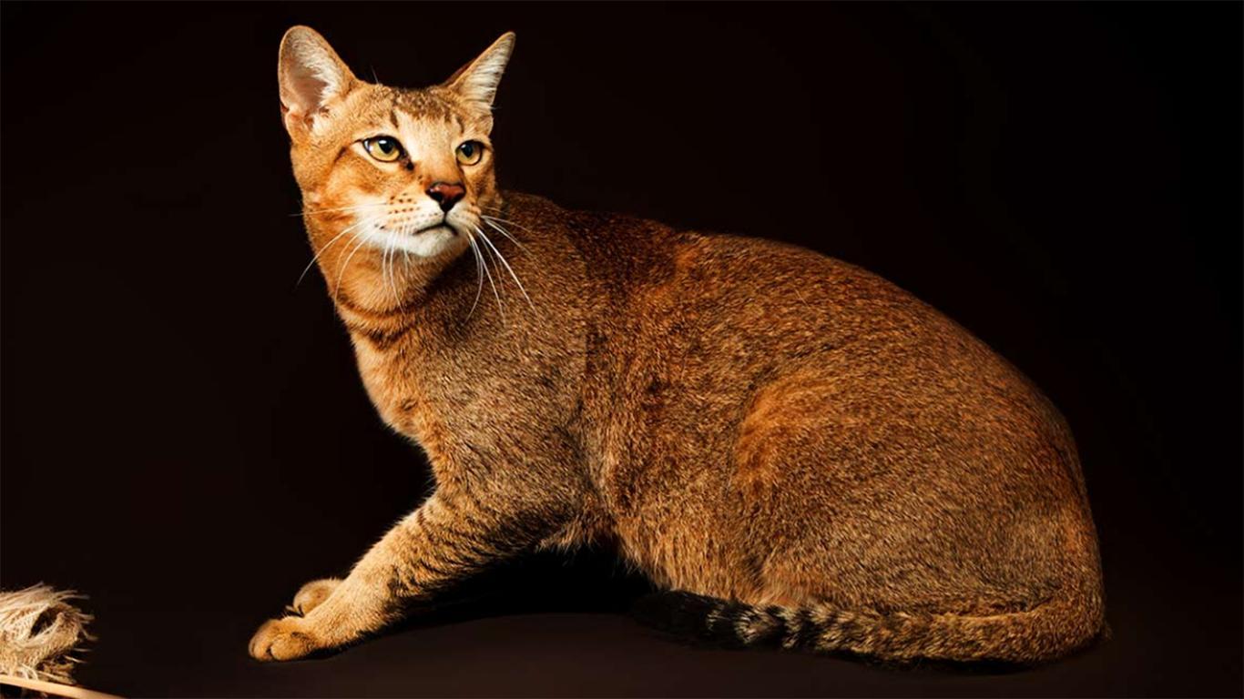 jenis kucing peliharaan chausie