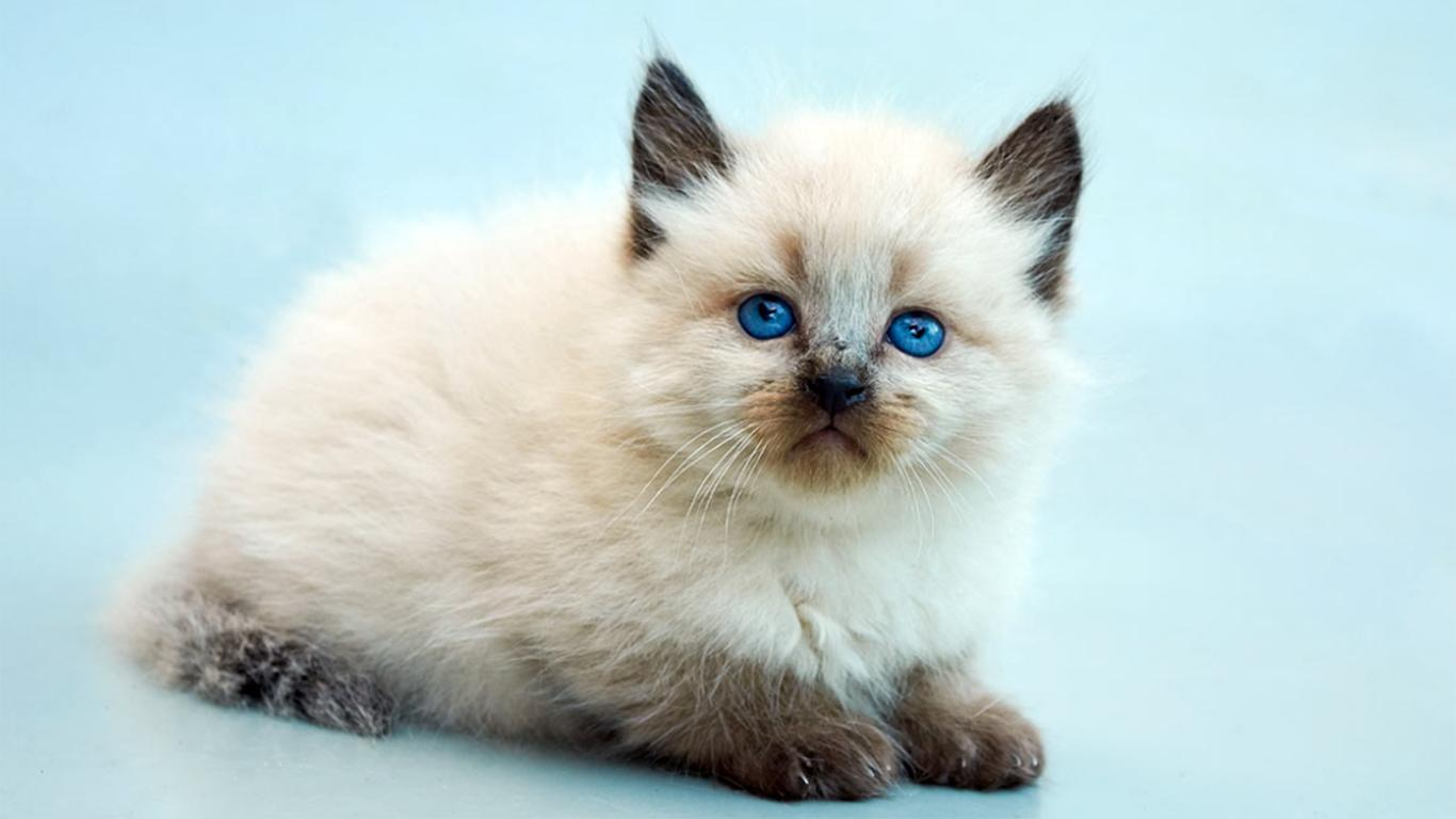jenis makanan kucing bali