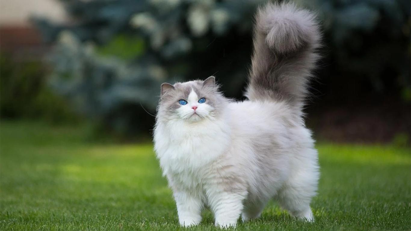 Harga Vaksin Kucing Tricat Tetracat Rabies Lengkap Jadwal
