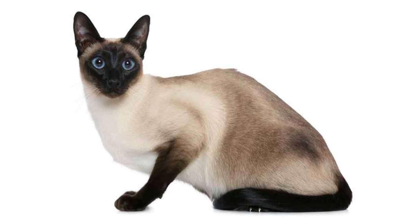 karakteristik kucing siam