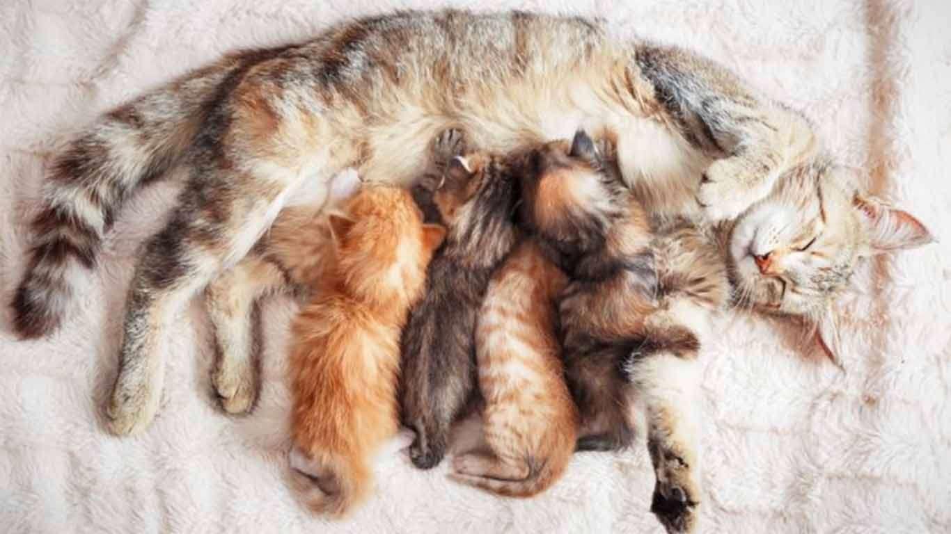 kelahiran anak kucing