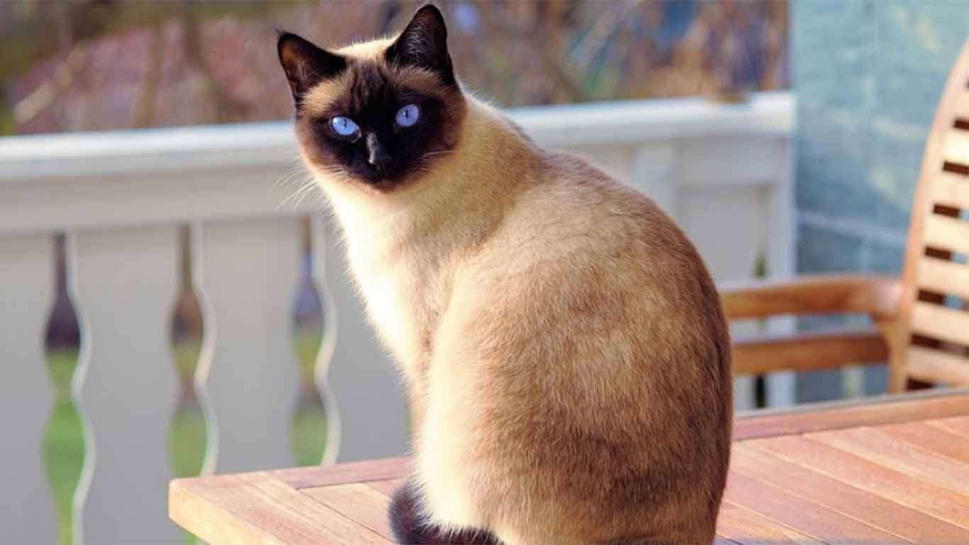 kesehatan kucing siam