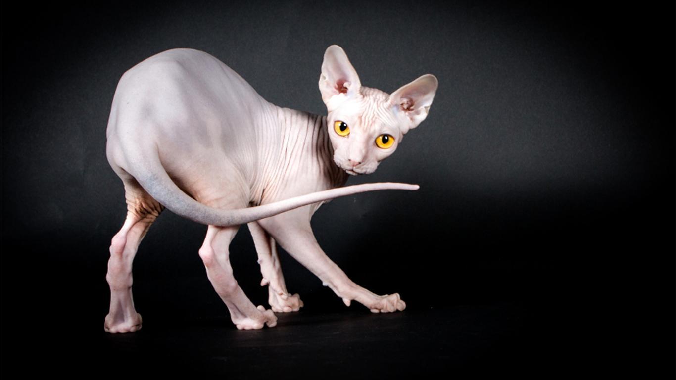Daftar Harga Kucing Sphynx Terbaru 2020 Cara Merawat
