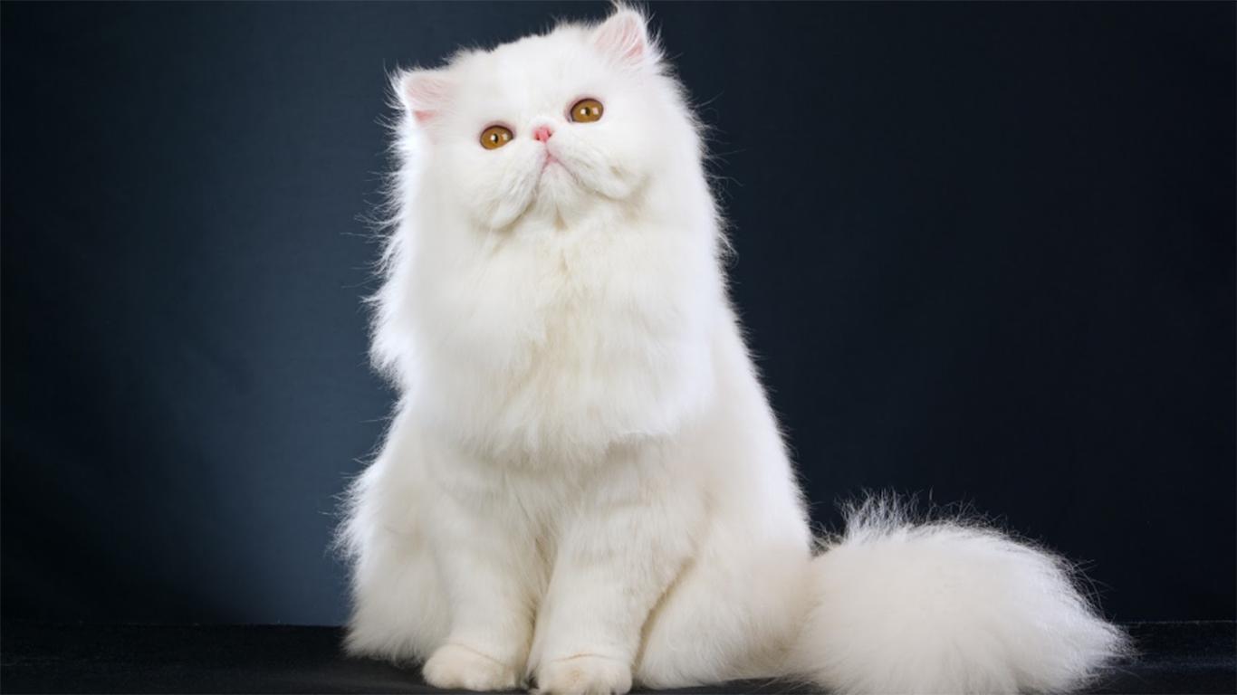 Kucing Anggora Hitam Wallpaper Majalah Cat & Dog