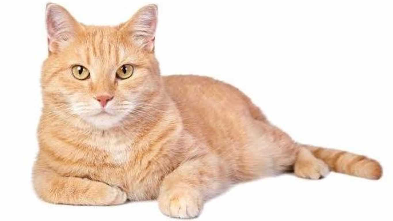 Kucing Kampung Harga Jenis Makanan Cara Merawat