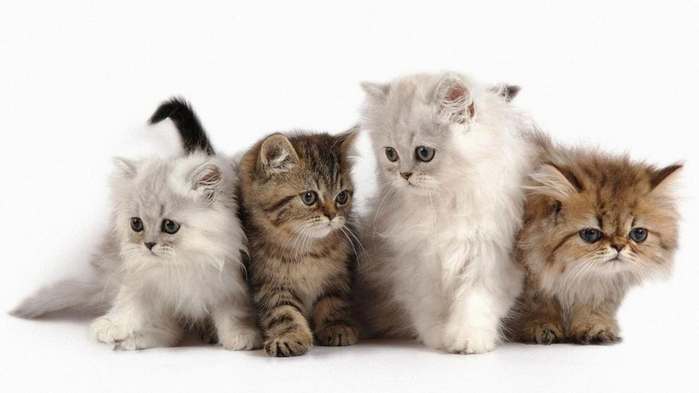 Persian cat mix anggora