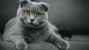 kucing scottish fold
