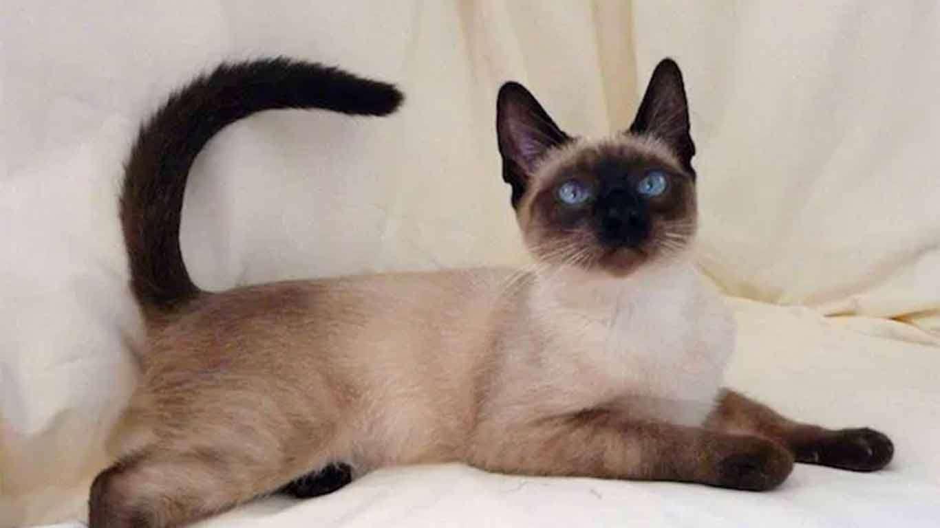 Daftar Harga Kucing Siam Terbaru 2020 Cara Merawat