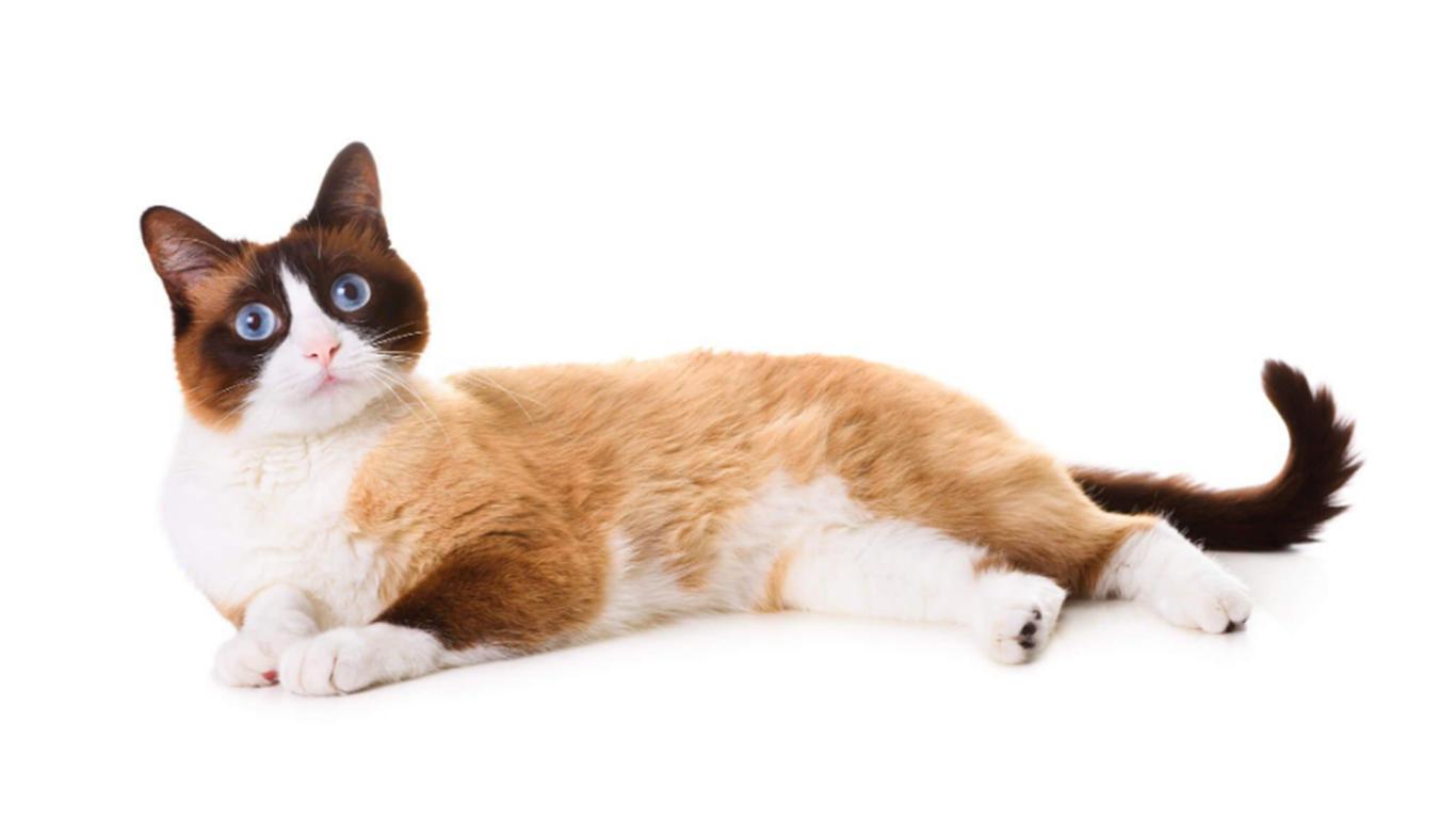 macam jenis kucing snowhoe