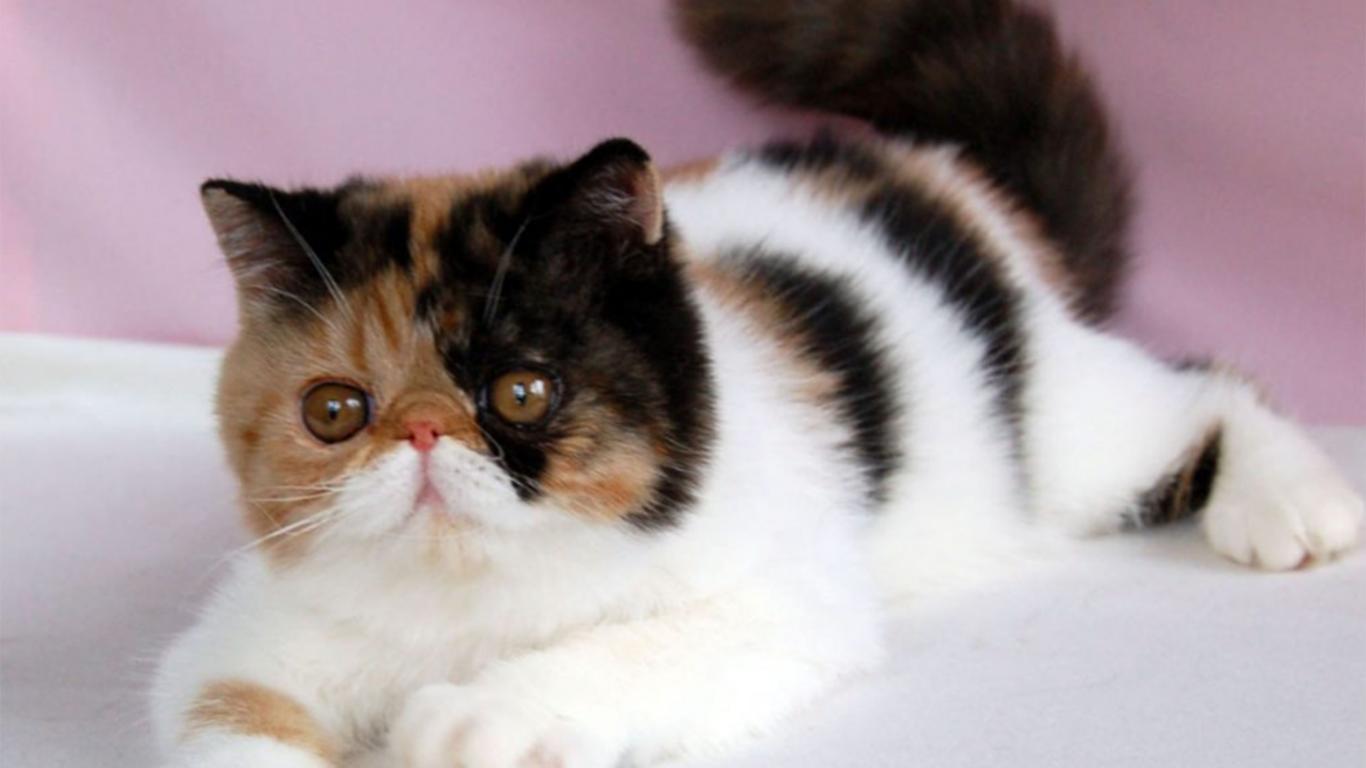 peaknose cat