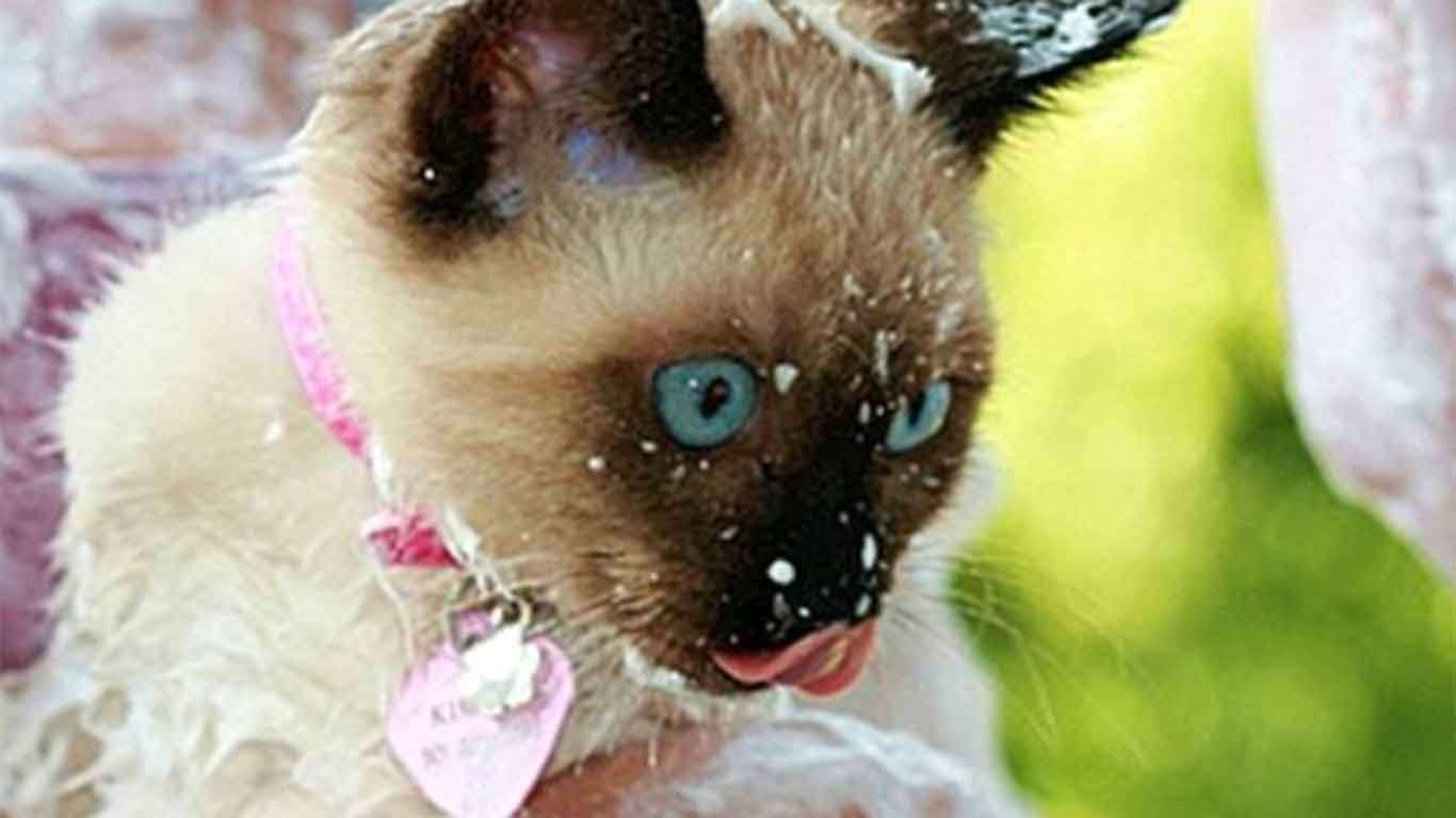 perawatan kucing siam