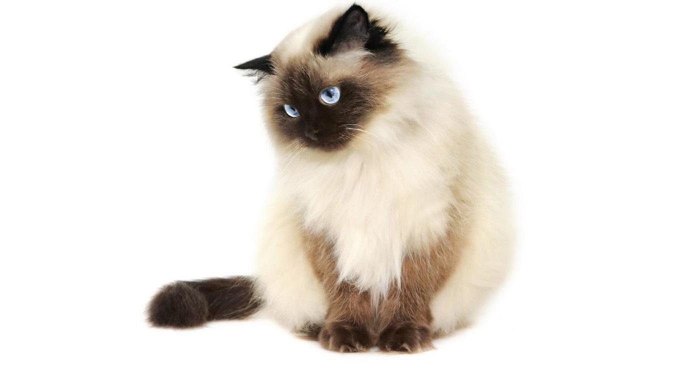 perbedaan kucing ragdoll dan himalaya