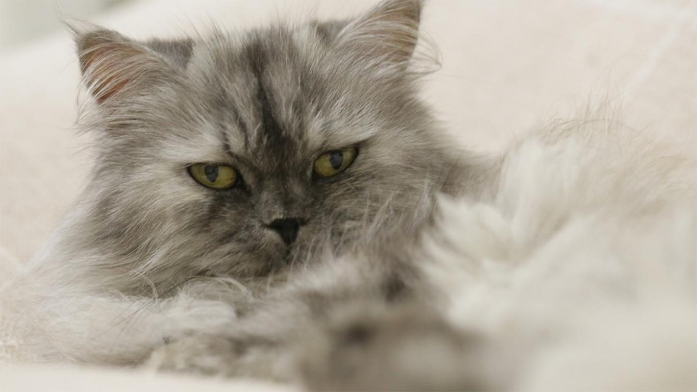 persia flatnose cat