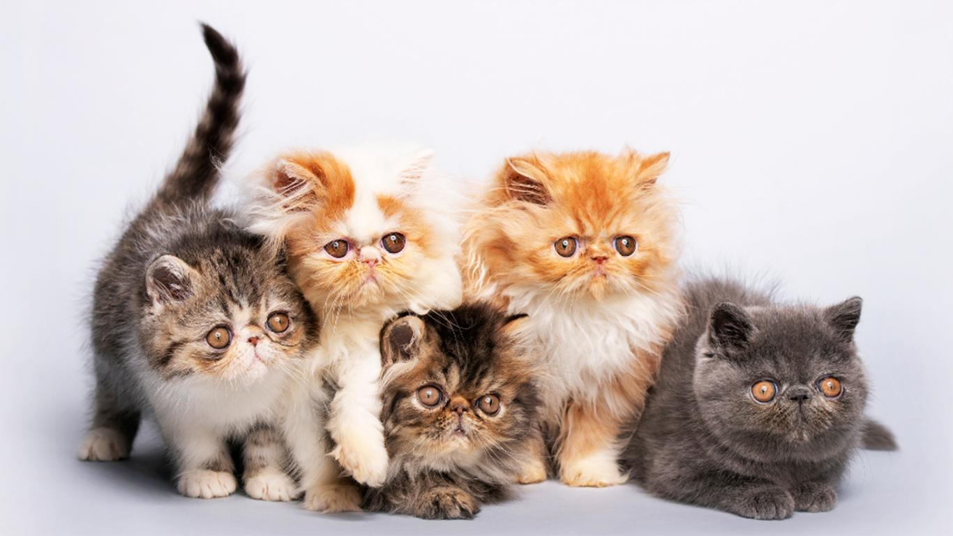 persian cat price