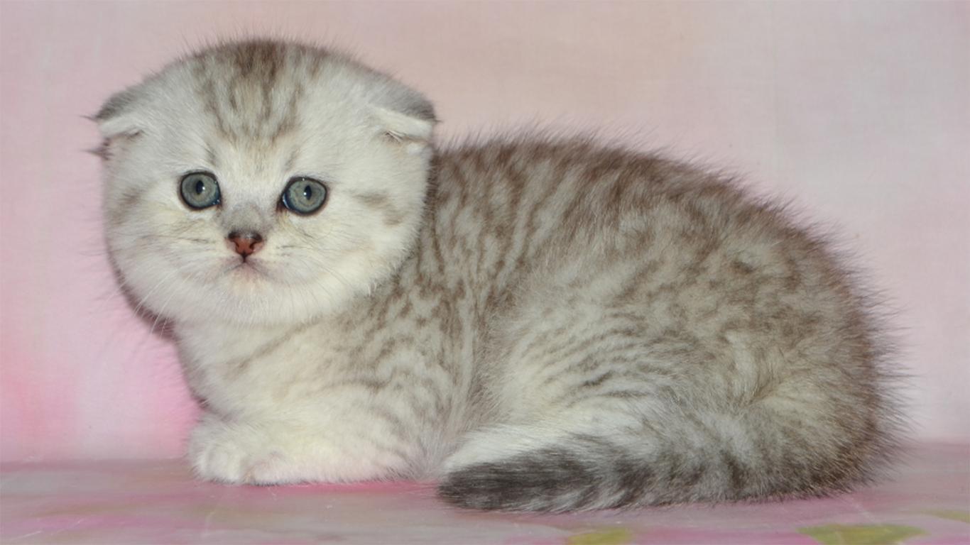 Kucing Scottish Fold Daftar Harga Cara Merawat Sifat Ciri