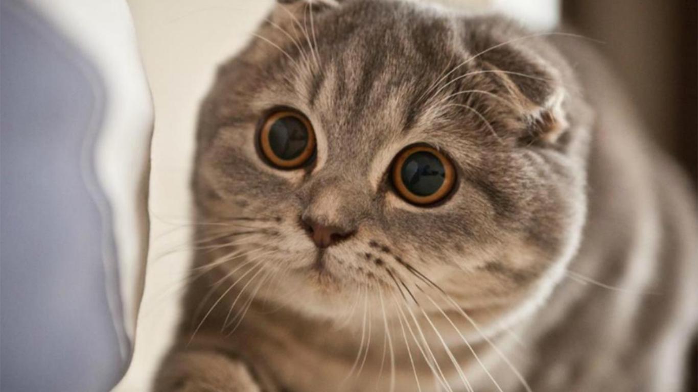 √ Kucing Scottish Fold: Daftar Harga, Cara Merawat, Sifat, Ciri
