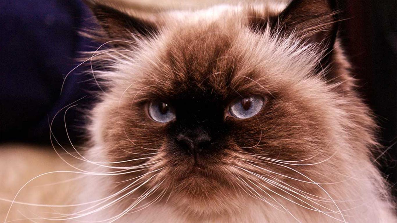 Bentuk Wajah Kucing Himalaya