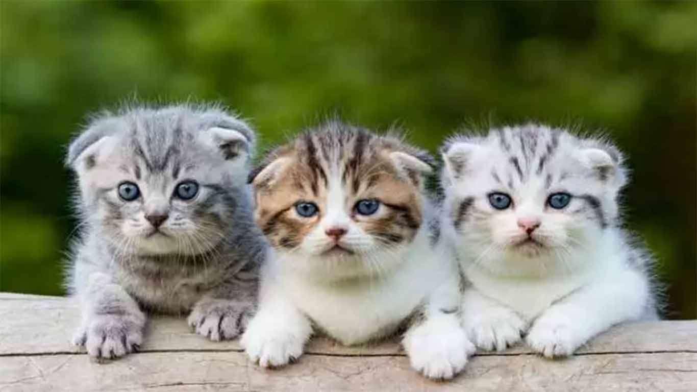 Cara Merawat Anak Kucing Harganya Terbaru 2020