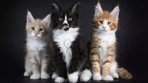 Harga Kucing Maine Coon