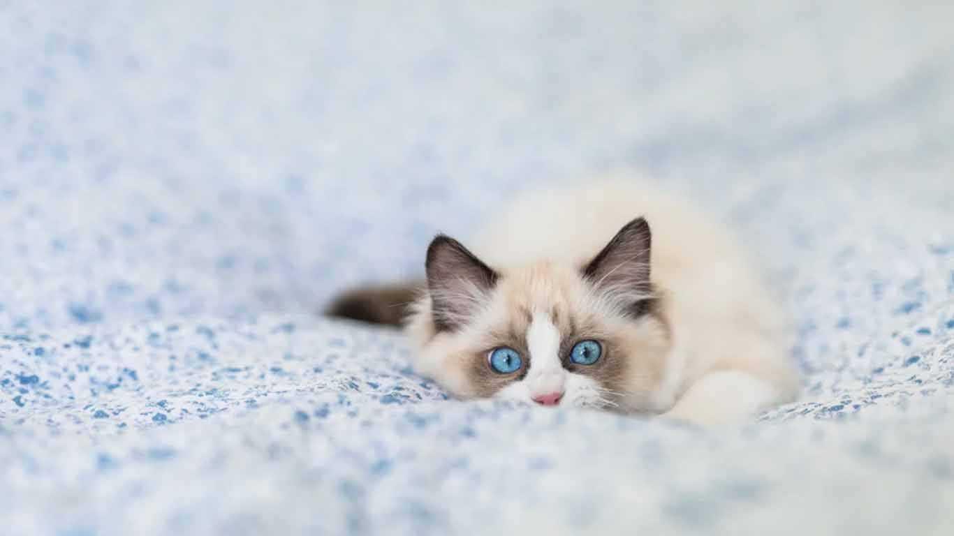 Harga Kucing Ragdoll