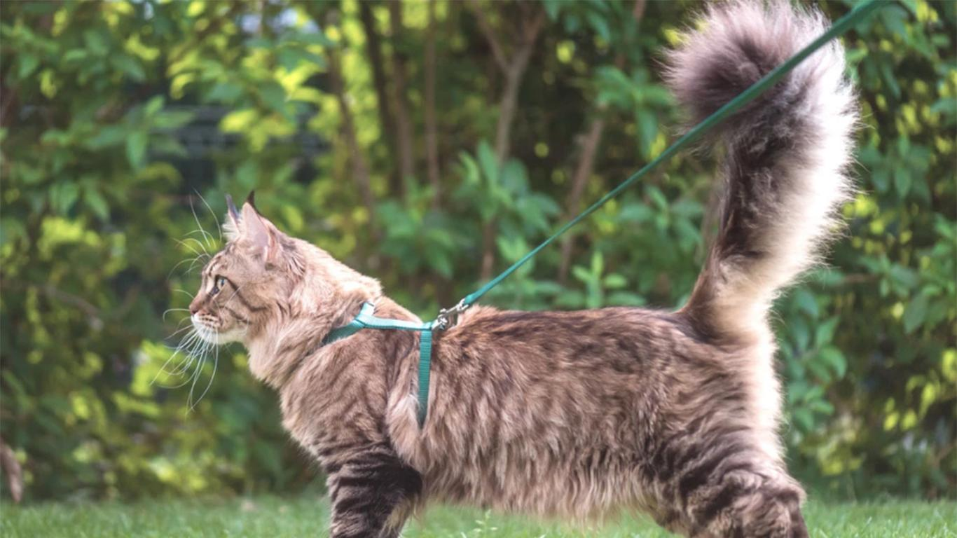 Maine Coon tail